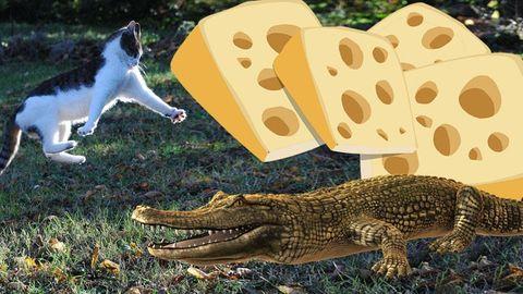 katt ost krokodil