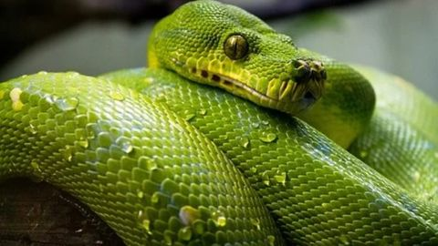 grön python